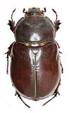 European rhinoceros beetle on white Background