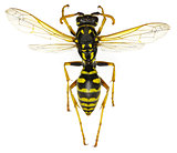 The European Paper Wasp on white Background