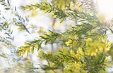 Early morning wattle in sunshine
