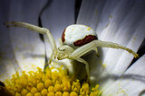 Red Striped Crab Spider