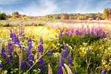 Lupines in a field in the sunlight