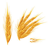 Ears of wheat on white background