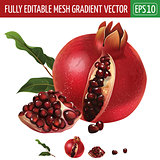 Pomegranate on white background. Vector illustration