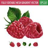 Raspberries on white background. Vector illustration