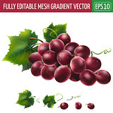 Red grapes on white background. Vector illustration