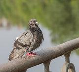 Urban Wet pigeon
