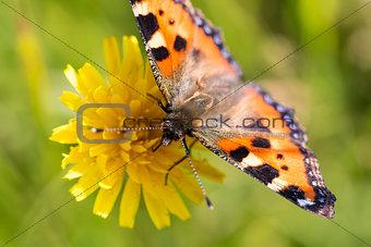Small Tortoiseshell Butterfly on Flower