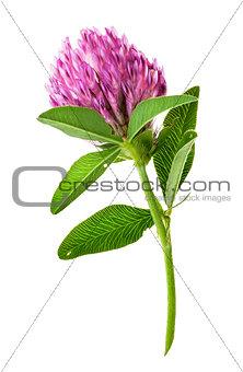 Single clover flower vertically