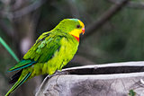 Superb parrot (side face)