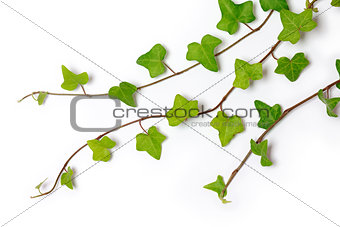 three ivy twigs