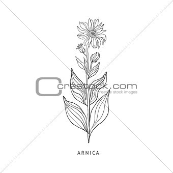 Arnica Hand Drawn Realistic Sketch