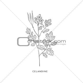 Celandine Hand Drawn Realistic Sketch