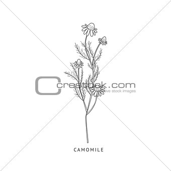 Camomile Hand Drawn Realistic Sketch