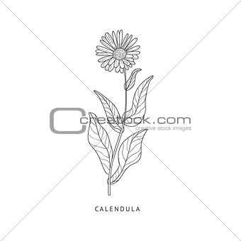 Calendula Hand Drawn Realistic Sketch