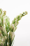 Tuberose on white