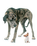 Great Dane and puppy chihuahua in studio