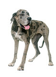 Great Dane in studio