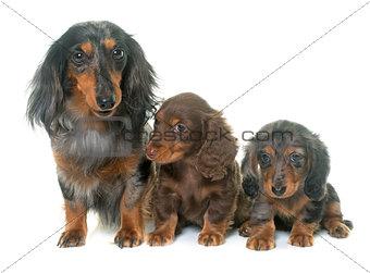 three dachshund  in studio
