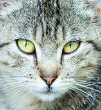 Closeup Portrait of The Head of Grey Cat