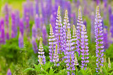 lush purple lupines in the meadow
