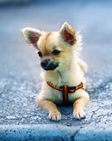 little charming adorable chihuahua puppy on blurred background. sitting on the ground.