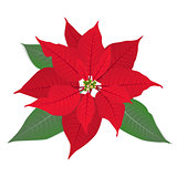 Red flower poinsettia on white