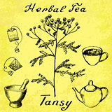 Tansy botanical illustration