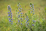 Viper's Bugloss and Buff-tailed Bumblebee