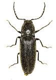 ClickBeetle Hemicrepidius on white Background