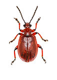 Shining Leaf Beetle