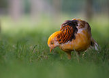 Male Yellow Golden Pheasant, Chrysolophus Pictus Mut Luteus