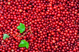 Fresh delicious organic red currant as a background