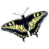 Papilio machaon butterfly vector illustration