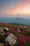rhododendron in the Carpathian mountains and dramatic sky