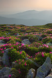 rhododendron in mountains Carpathians