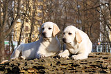two yellow happy labrador puppies in garden
