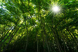Green Forest with Sun Rays