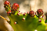 Prickly Pear Cactus with Red Flowers