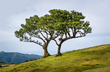 Two lonely trees growing in the hills of Madeira mountain plateau