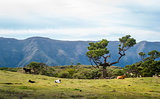 Cows in the hills of Fanal forest national park at Madeira island.