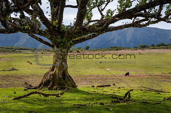 Old tree and cows at the fields of Fanal national park, Madeira island.