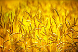 Wheat field. Ears of golden wheat close up. Rich harvest concept