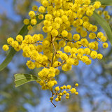 Australian Icon Golden Wattle Flowers