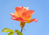 Spring Rose with Blue Sky
