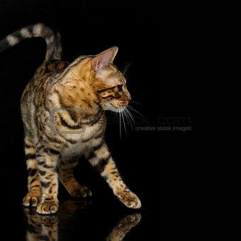 Beautiful bengal cat