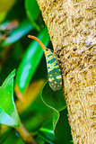 Lantern Fly perch on a tree
