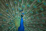 Male Indian Peafowl head and tail