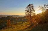 birch forest in sunny  autumn