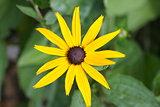 Cone-flower, echinacea,