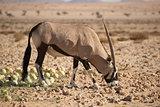 Oryx in Desert biting in to Desert Melon.